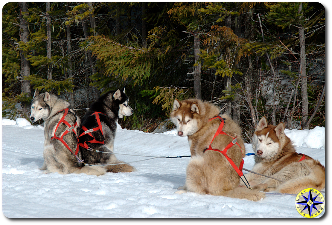 4 siberian husky sled dogs in harness