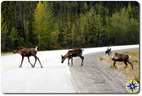 caribou crossing the road