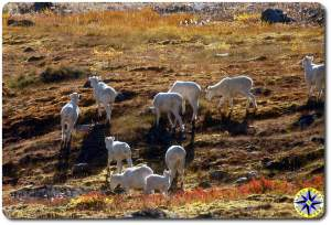 daul sheep arctic circle