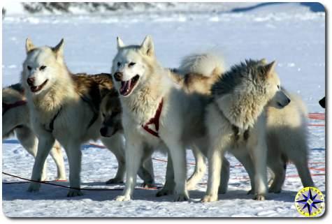 alaska husky sled dogs