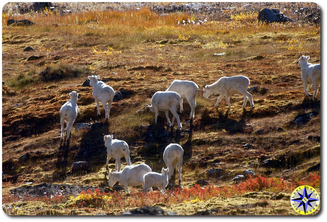 daul sheep arctic circle