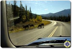 caribou roadside