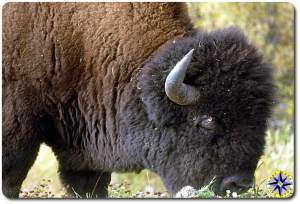 close up buffalo