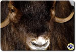 musk oxen inuvik canada