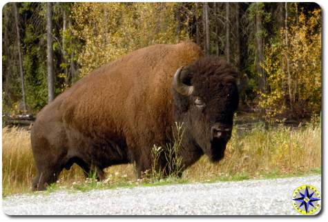 road side buffalo