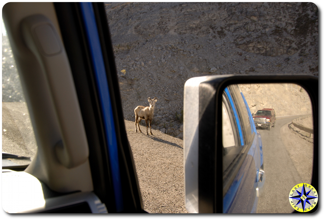 rock sheep on road