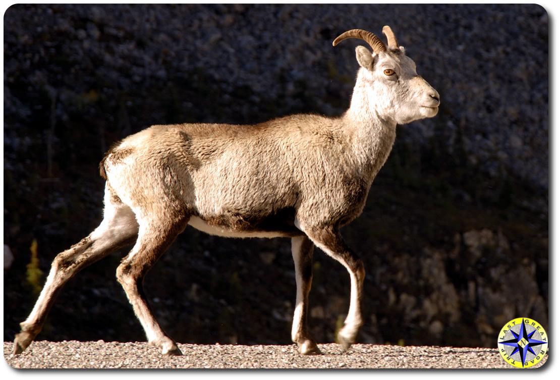 rock sheep