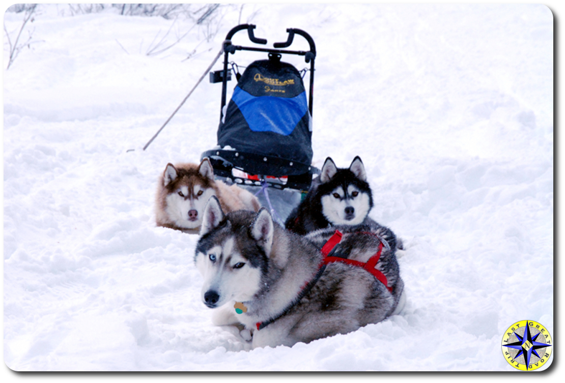 sled dog siberian husky resting on trail