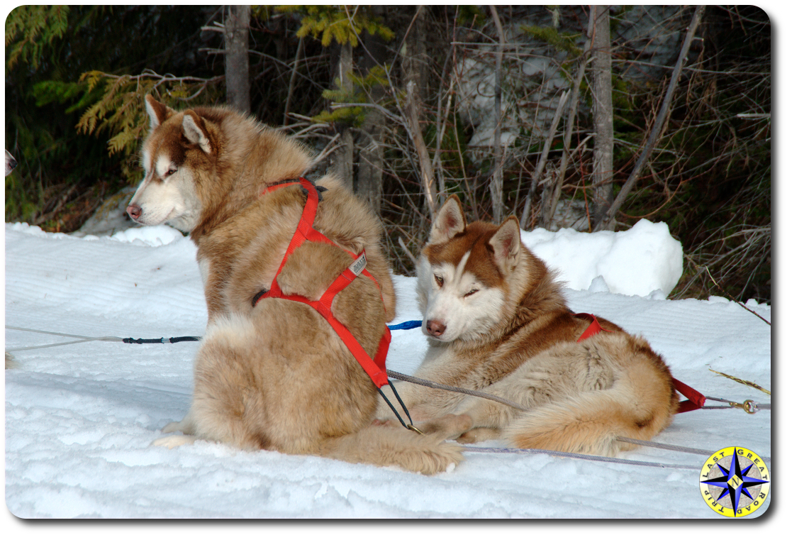 2 red siberian husky sled dogs in harness