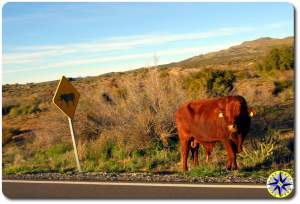 road side bull baja mexico