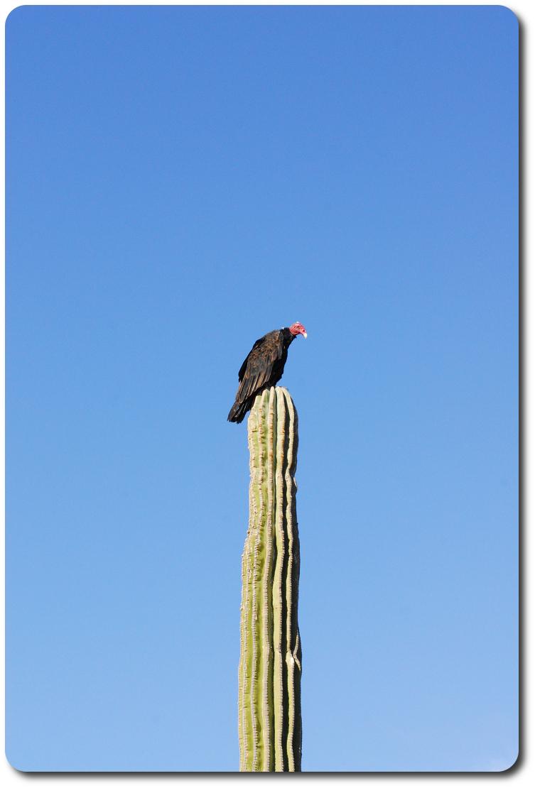 vulture on cactus