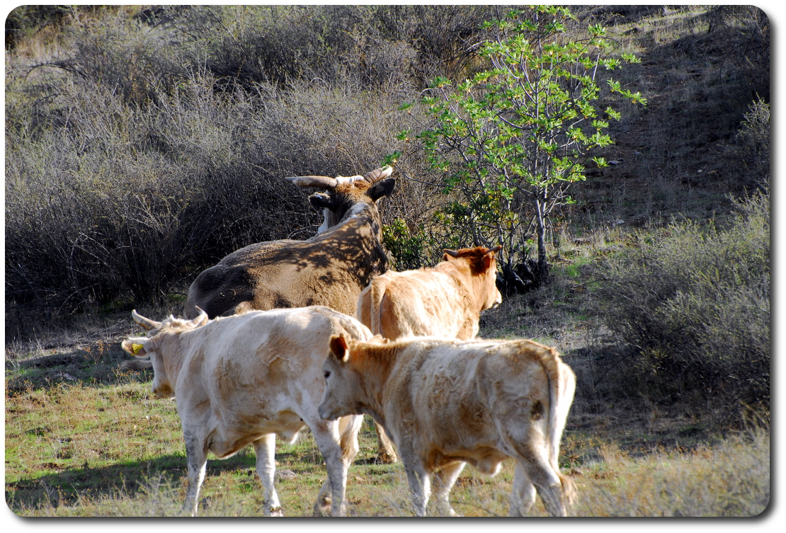 roadside cows