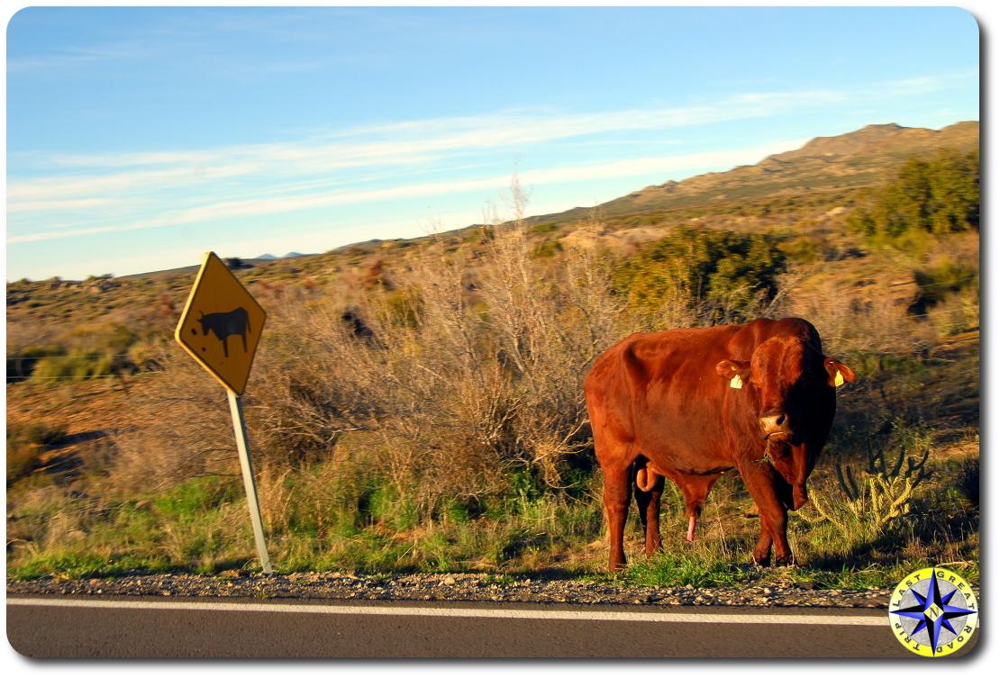road side bull baja mexico