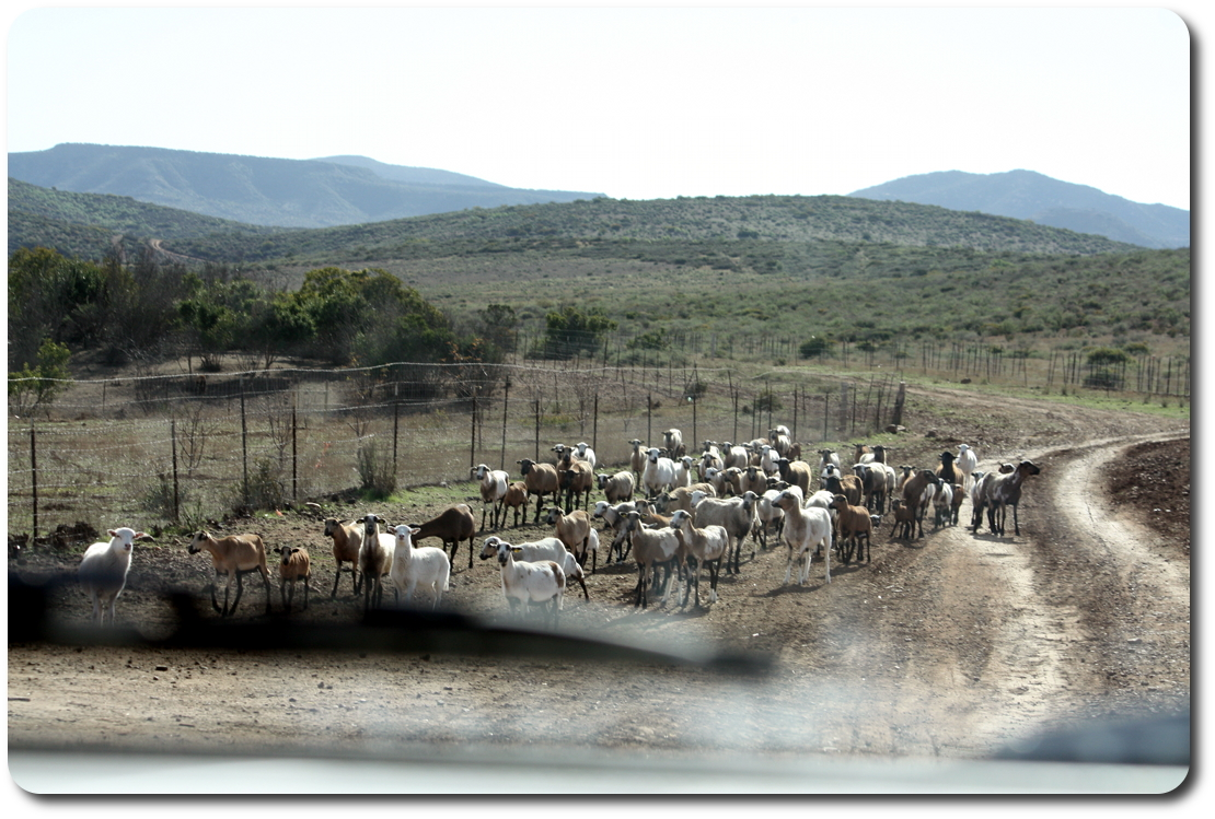 goats on baja road