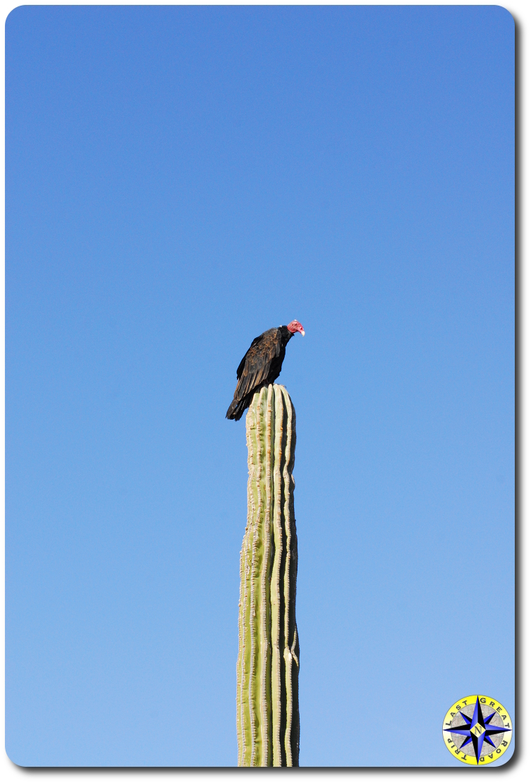 vulture onto baja catus