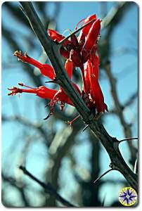 red cactus flowers baja mexico