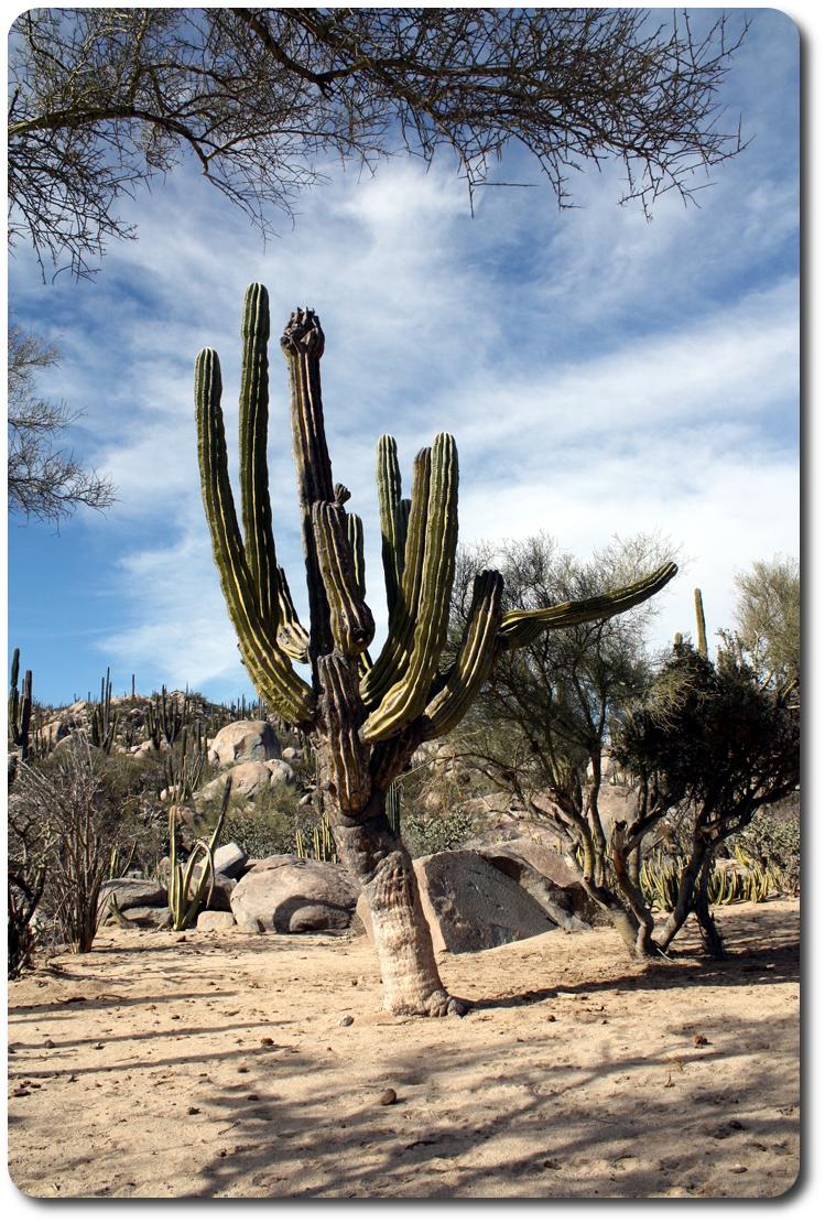 cactus in baja
