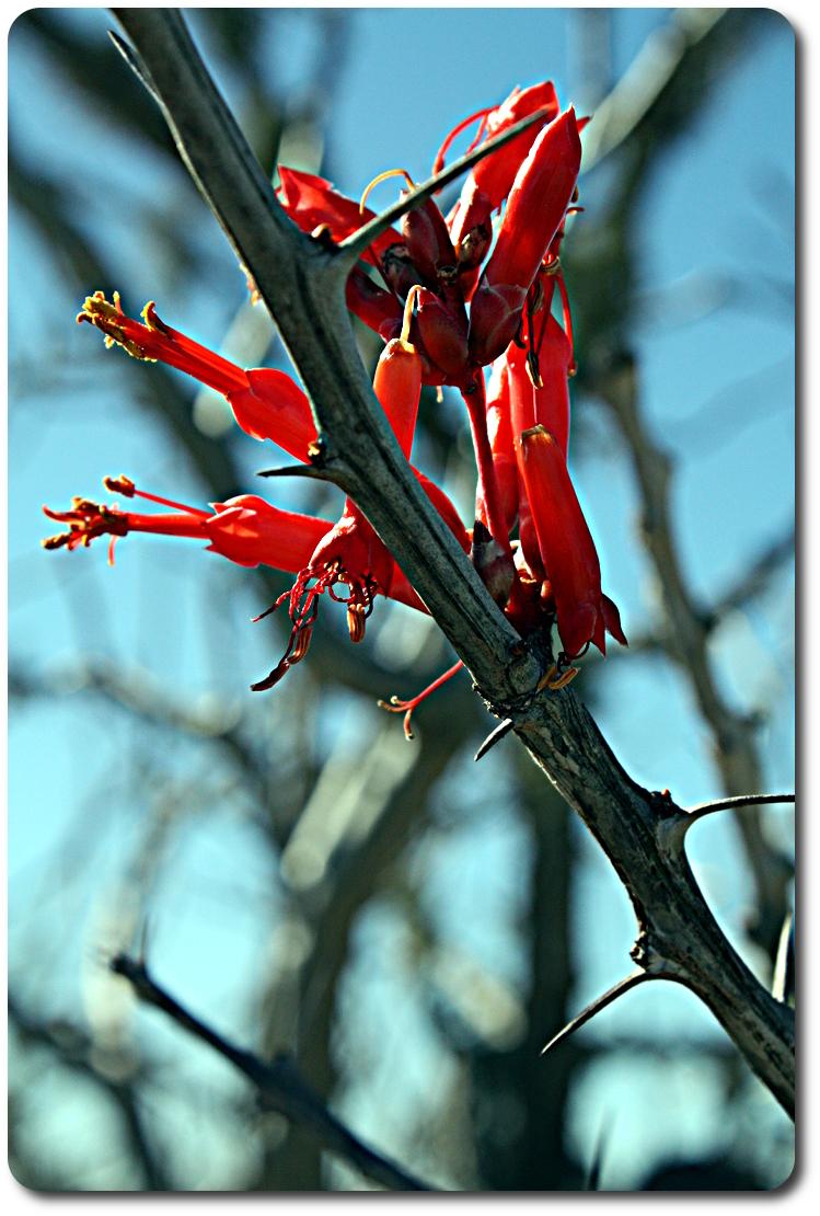 red baja cactus flowers