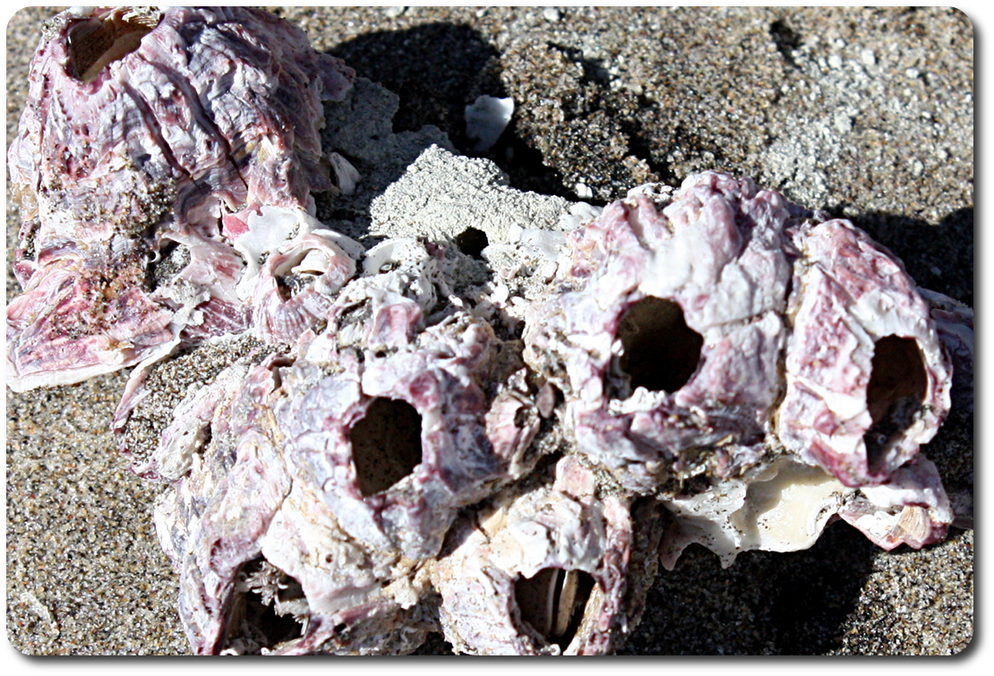baja beach shells
