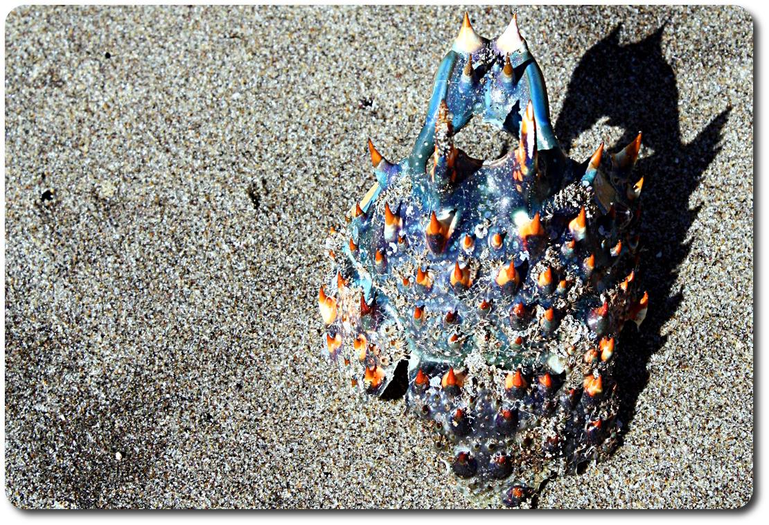 baja crab shell