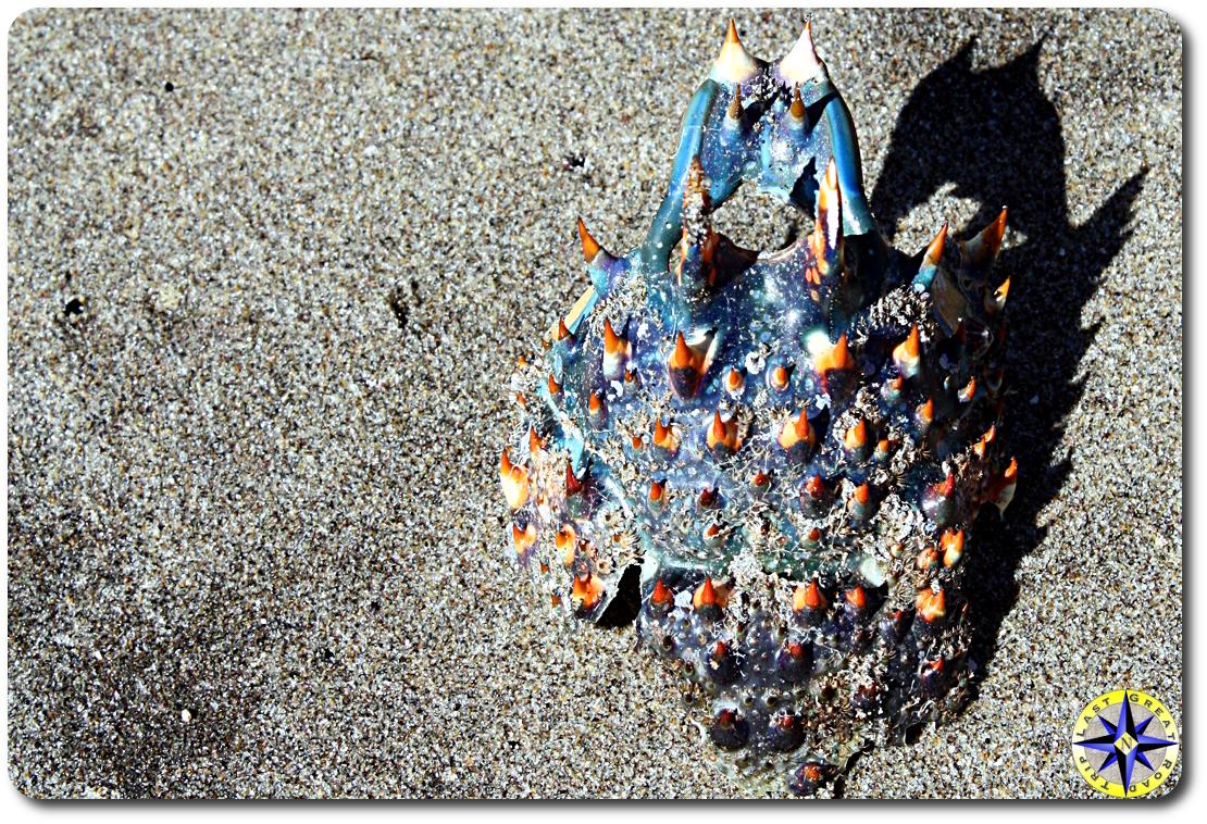 blue orange crab shell on sand