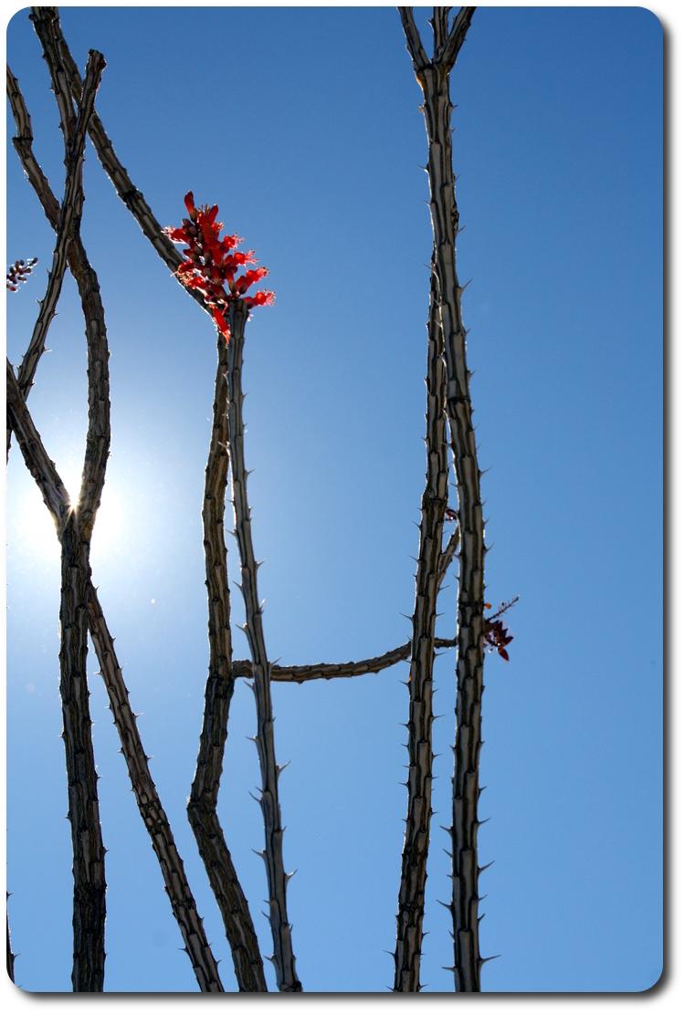 baja cactus flower