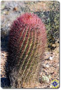 cactus growing in baja mexico