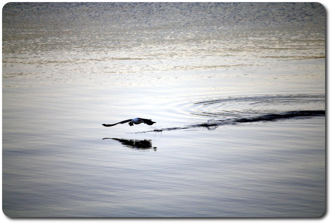 gull skimming Bahía de los Ángeles