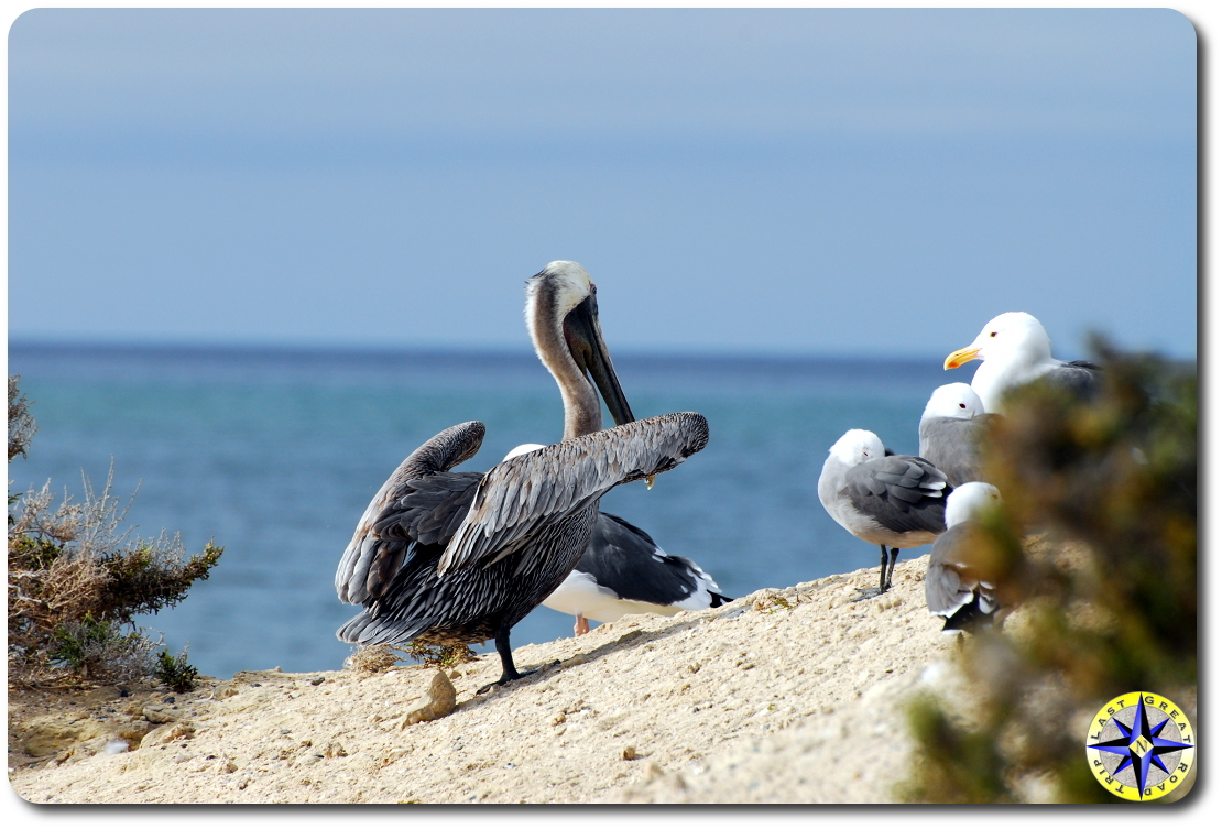 scorpion bay pelican and gulls