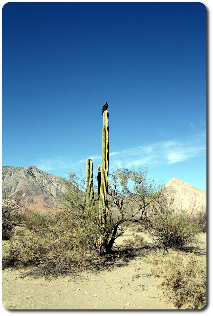 vultures on cactus watching us