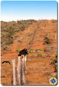 vultures on fence baja mexico