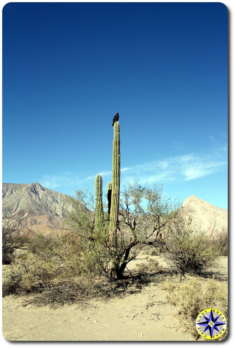vultures on tall baja cactus watching us