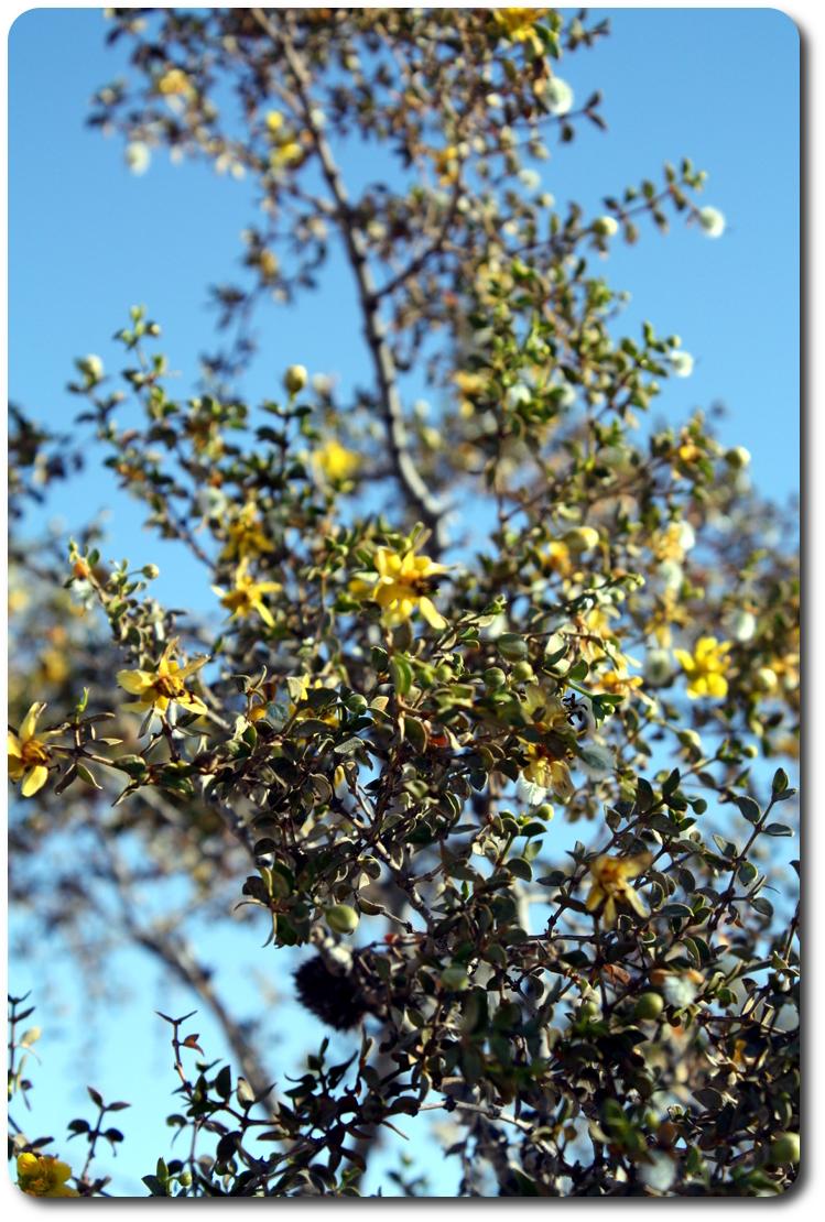 yellow baja flowers
