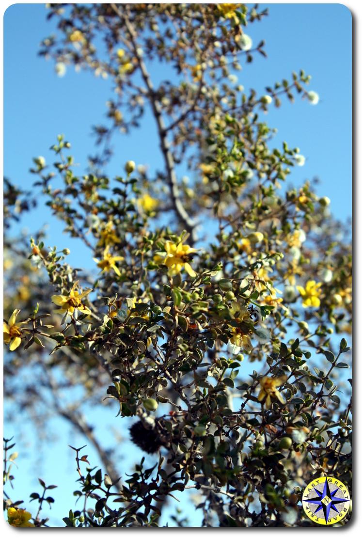yellow flowers baja mexico