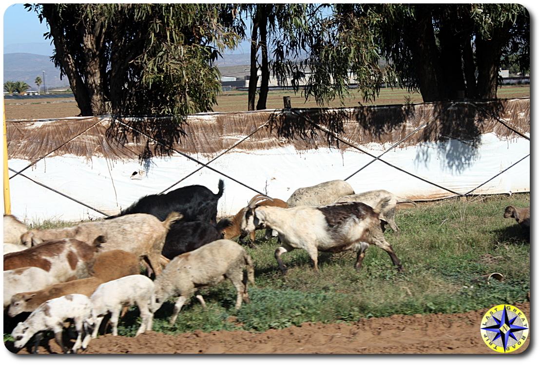 road side goats