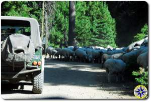 herd of sheep on the road