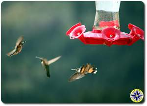 humming birds at feeder