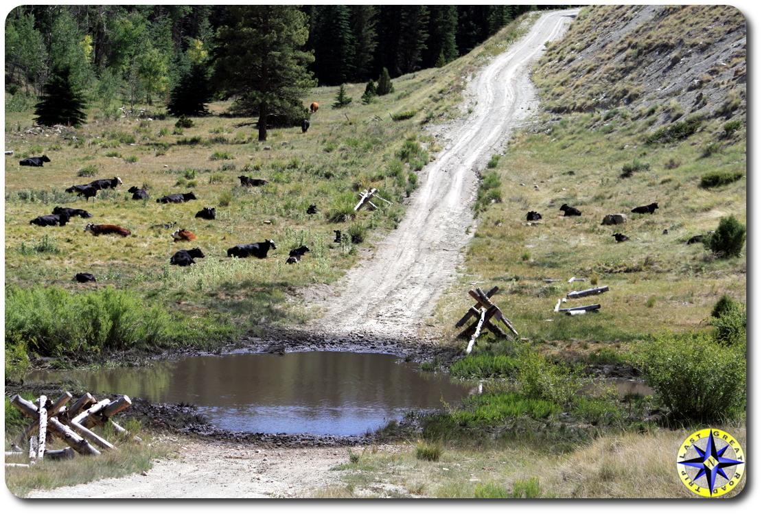 open range cattle by dirt road