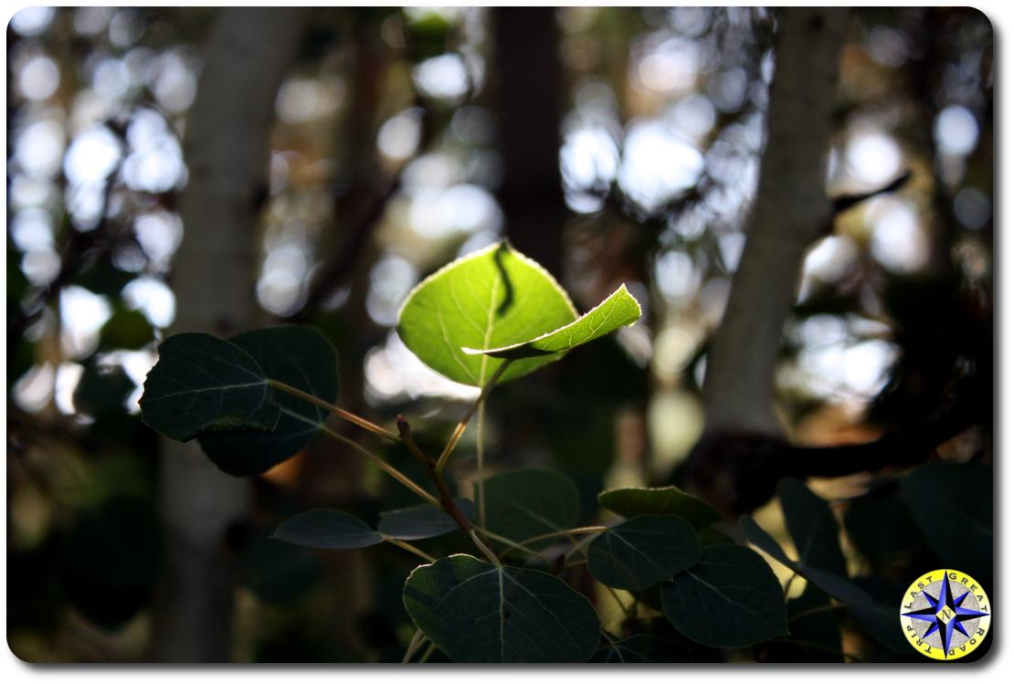 sun on aspen leaf