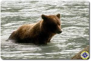 alaska brown bear fishing in river