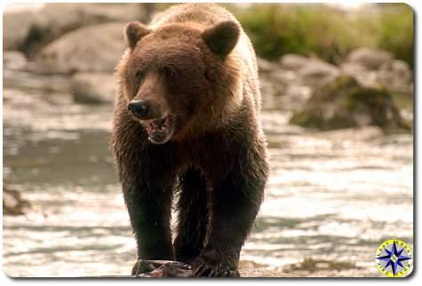 alaska brown bear fishing