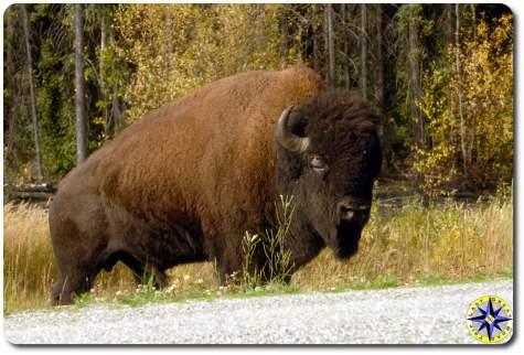 road side buffalo