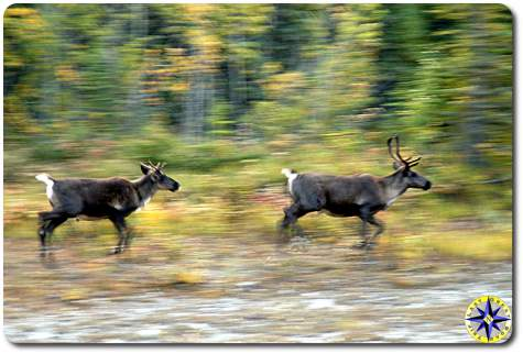 running caribou
