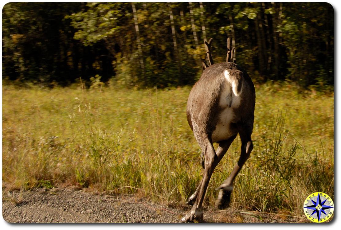 caribou running away