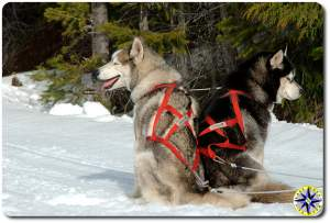 two lead sled dogs in harness siberian husky