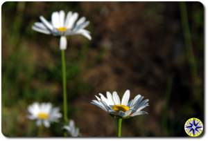 wild mountain daisy