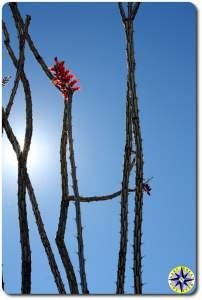 red cactus flower baja mexico