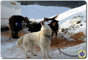 sled dogs howling