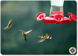 humming birds at feeder