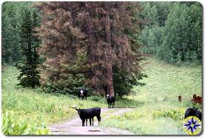 cows on trail